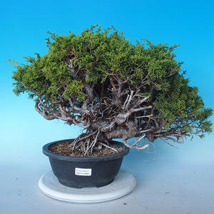 Outdoor Bonsai - Juniperus chinensis ITOIGAWA - Chinesischer Wacholder