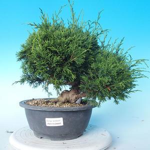 Outdoor Bonsai - Juniperus chinensis ITOIGAWA - Chinesischer Wacholder