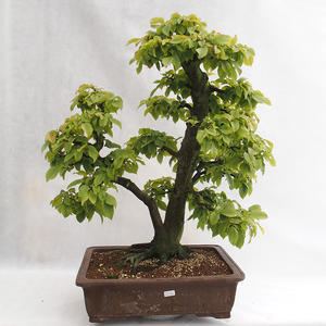 Außenbonsai - Hainbuche - Carpinus betulus VB2019-26689