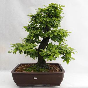 Außenbonsai - Hainbuche - Carpinus betulus VB2019-26690