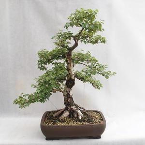 Außenbonsai - Betula verrucosa - Silver Birch VB2019-26695