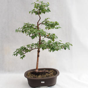 Außenbonsai - Betula verrucosa - Silver Birch VB2019-26696