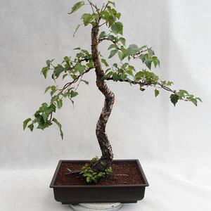 Außenbonsai - Betula verrucosa - Silver Birch VB2019-26697
