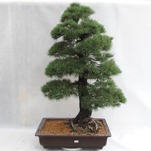 Außenbonsai - Pinus sylvestris - Waldkiefer VB2019-26699