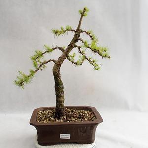 Outdoor Bonsai -Larix decidua - Europäische Lärche VB2019-26702