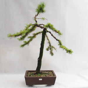 Outdoor Bonsai -Larix decidua - Europäische Lärche VB2019-26704