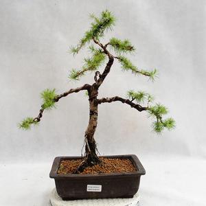 Outdoor Bonsai -Larix decidua - Europäische Lärche VB2019-26707