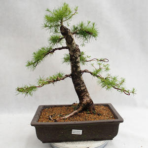 Outdoor Bonsai -Larix decidua - Europäische Lärche VB2019-26708