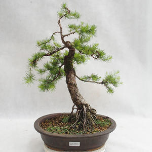 Outdoor Bonsai -Larix decidua - Europäische Lärche VB2019-26709