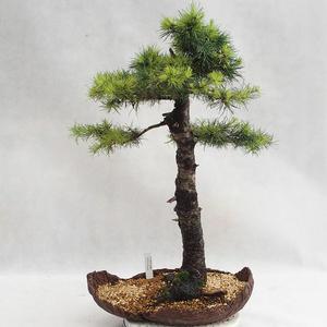 Outdoor Bonsai -Larix decidua - Europäische Lärche VB2019-26710