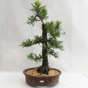 Bonsai im Freien - Metasequoia glyptostroboides - chinesische kleine Blätter