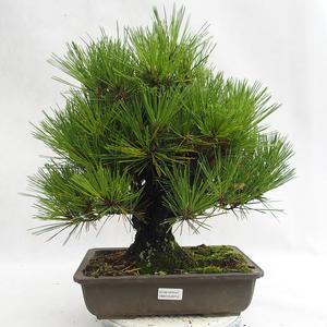 Freilandbonsai - Pinus thunbergii Corticosa - Thunberger Kiefer VB2019-26712