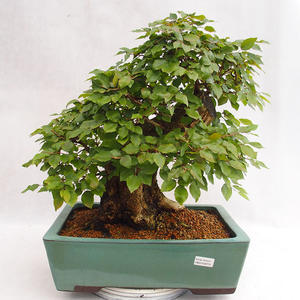 Outdoor Bonsai - Koreanische Hainbuche - Carpinus carpinoides VB2019-26715