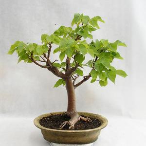 Outdoor-Bonsai - herzförmige Limette - Tilia cordata 404-VB2019-26717