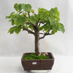 Outdoor-Bonsai - herzförmige Limette - Tilia cordata 404-VB2019-26718