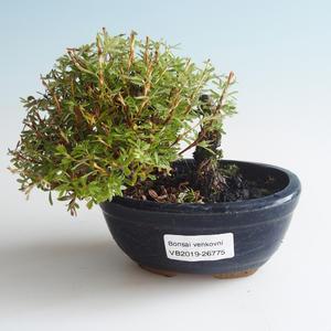 Außen Bonsai-Bush Cinquefoil - Dasiphora fruticosa gelb 408-VB2019-26775