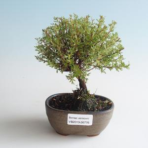 Außen Bonsai-Bush Cinquefoil - Dasiphora fruticosa gelb 408-VB2019-26776