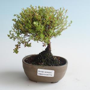 Außen Bonsai-Bush Cinquefoil - Dasiphora fruticosa gelb 408-VB2019-26779
