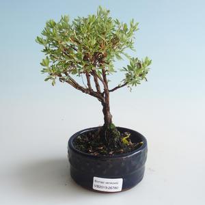 Außen Bonsai-Bush Cinquefoil - Dasiphora fruticosa gelb 408-VB2019-26780
