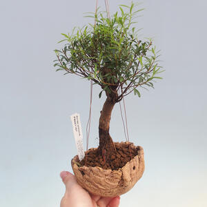 Kokedama v keramice -Syzygium - Pimentovník