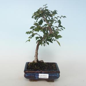 Bonsai-Ulmus parvifolia-Ulme 408-VB2019-26812 im Freien