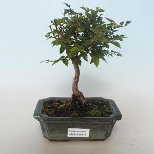 Freiland-Bonsai-Ulmus parvifolia-Ulme 408-VB2019-26814