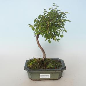 Bonsai-Ulmus parvifolia-Ulme 408-VB2019-26816 im Freien