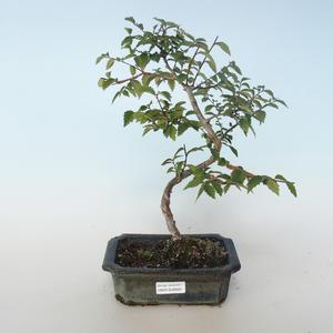 Bonsai-Ulmus parvifolia-Ulme 408-VB2019-26820 im Freien