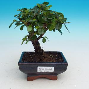 Zimmerbonsai - Carmona macrophylla - Tee fuki