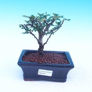 Zimmer Bonsai - Zantoxylum piperitum - Kava