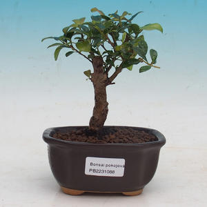 Zimmer Bonsai - Ilex crenata - Holly