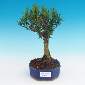 Zimmer-Bonsai - Buxus harlandii - Korkbuxus