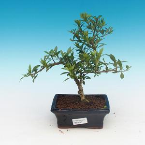 Zimmer bonsai - Gardenia jasminoides-Gardenie