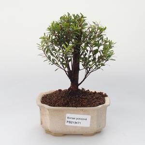 Zimmer Bonsai - Syzygium - Pimentovník