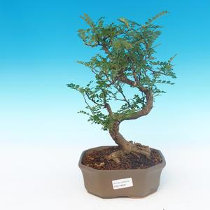 Indoor-Bonsai - Zantoxylum piperitum - Pfefferbaum