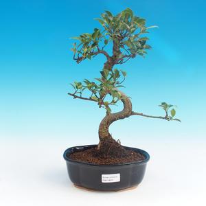 Indoor-Bonsai - Ficus retusa - kleiner Ficus