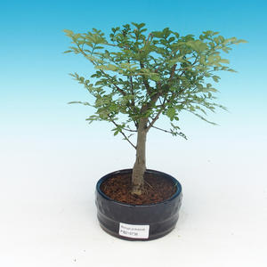 Raum-Bonsai - Fraxinus uhdeii - Raumasche