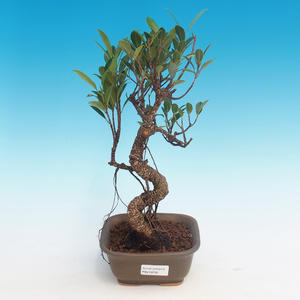 Zimmerbonsai - Ficus kimmen - kleiner Ficus