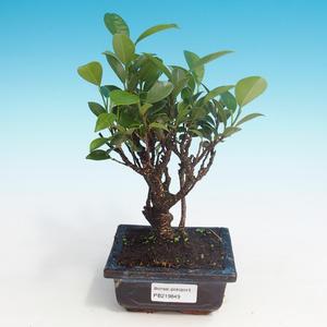 Zimmerbonsai - Ficus retusa - kleiner Ficus