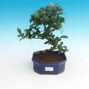 Zimmer Bonsai - Carmona macrophylla - Tea Fuki