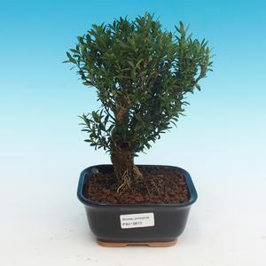 Zimmer Bonsai - Buxus Harlandii - Kork Buxus