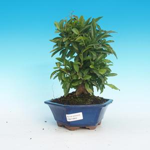 Zimmer Bonsai-PUNICA Granatum-Granatapfel