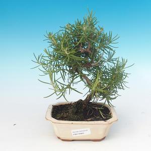Zimmerbonsai - Rosmarin-Rosmarinus officinalis