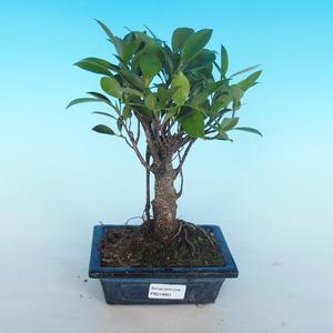 Zimmer Bonsai - Ficus retusa - Ficus malolistý