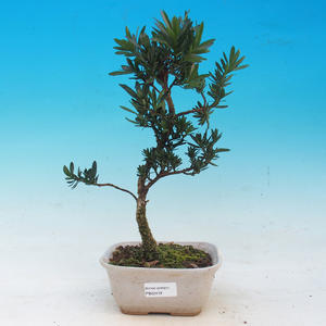 Zimmer Bonsai - Podocarpus - Stein Thousand