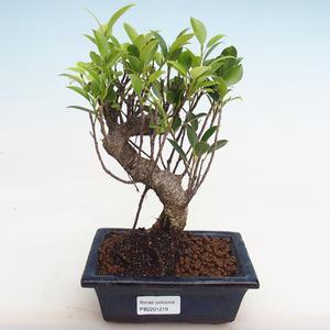 Indoor Bonsai - Ficus kimmen - kleiner Blattficus PB2191219