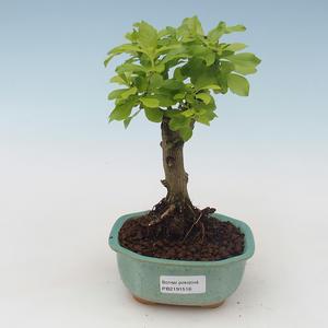Zimmerbonsai -Ligustrum chinensis - Liguster