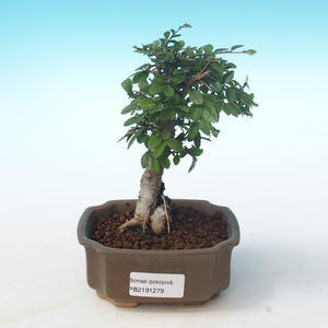 Indoor Bonsai-Ulmus Parvifolia-Kleine Blattulme PB2191279