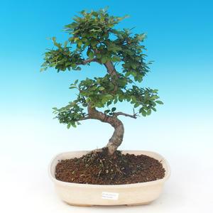Innenbonsai - Ulmus parvifolia - kleine Blattulme PB2191289