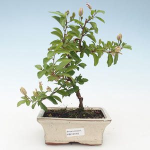 Indoor Bonsai - Grewie - Lavendelstern 414-PB2191342